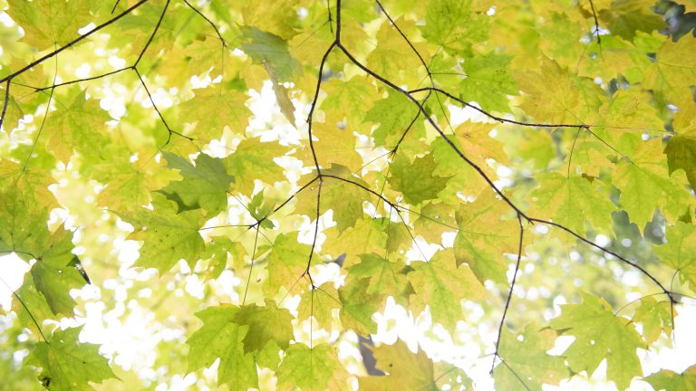 view looking up through a canopy of chartreuse maple leaves