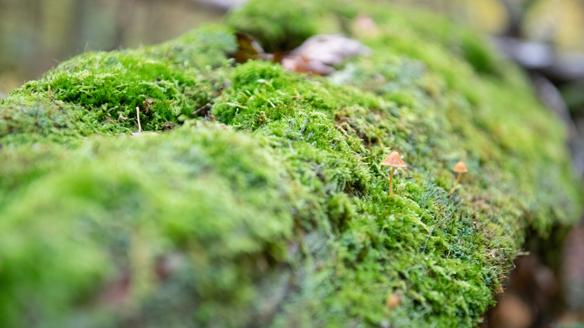 close up of bright green moss growing on a log with tiny mushrooms