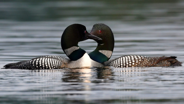 two male loons touching beaks in the water